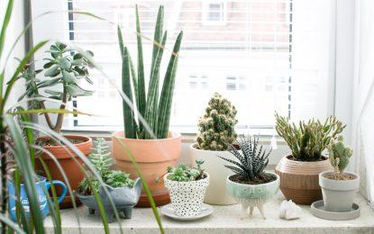 Успешно одгледување на кактуси и сукуленти во зимско-пролетниот период
