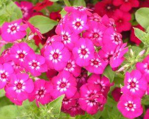 Флокс │ Цвеќе што дава цветови цело лето