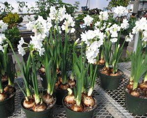 Како се размножуваат луковичести растенија?