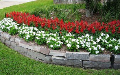 Жалфија | Ароматично растение за вашите градини и балкони
