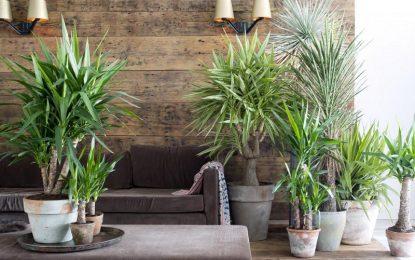 Дрво на животот │Како се одгледува ова декоративно собно растение?