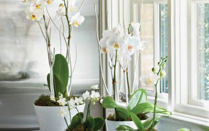 Како правилно се одгледува и негува орхидејата?