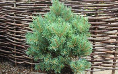Бел бор (Pinus sylvestris) │ Декоративно дрво од кое се добива етерично масло